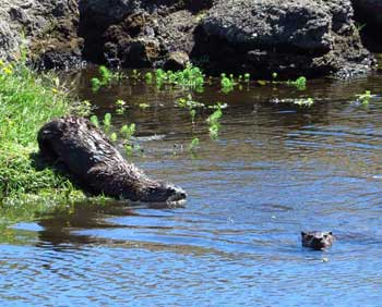 river-otters2